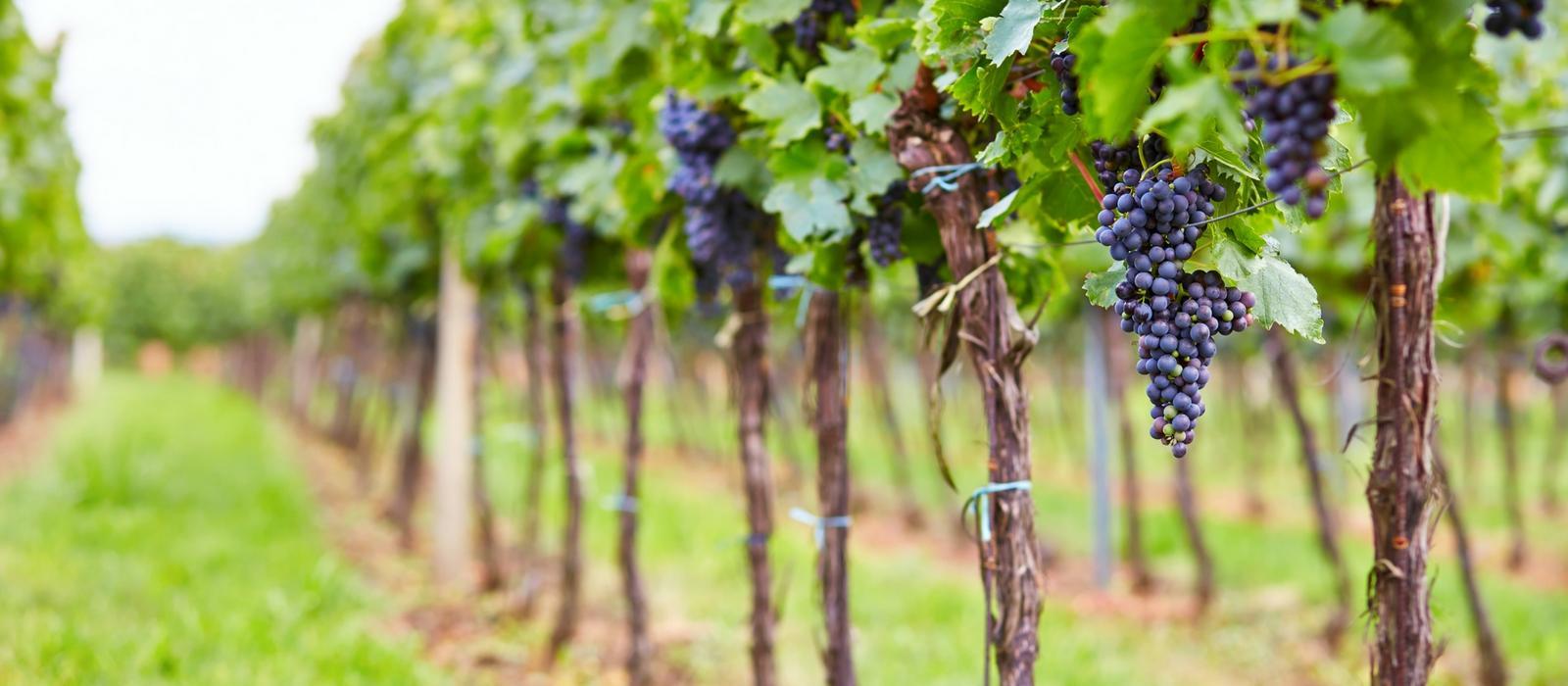 South Jersey Vineyard