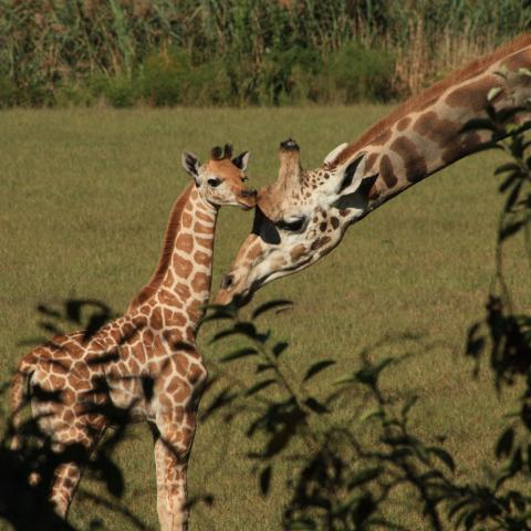 giraffes at the cape may county park and zoo