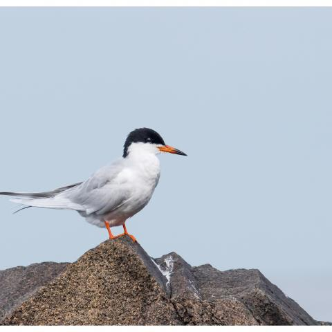Fosters_Tern_bird_perched_spring2018