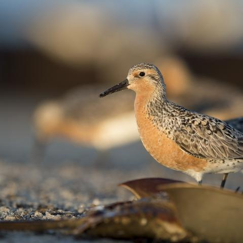 Red Knot standing over a flipped horseshoe crab