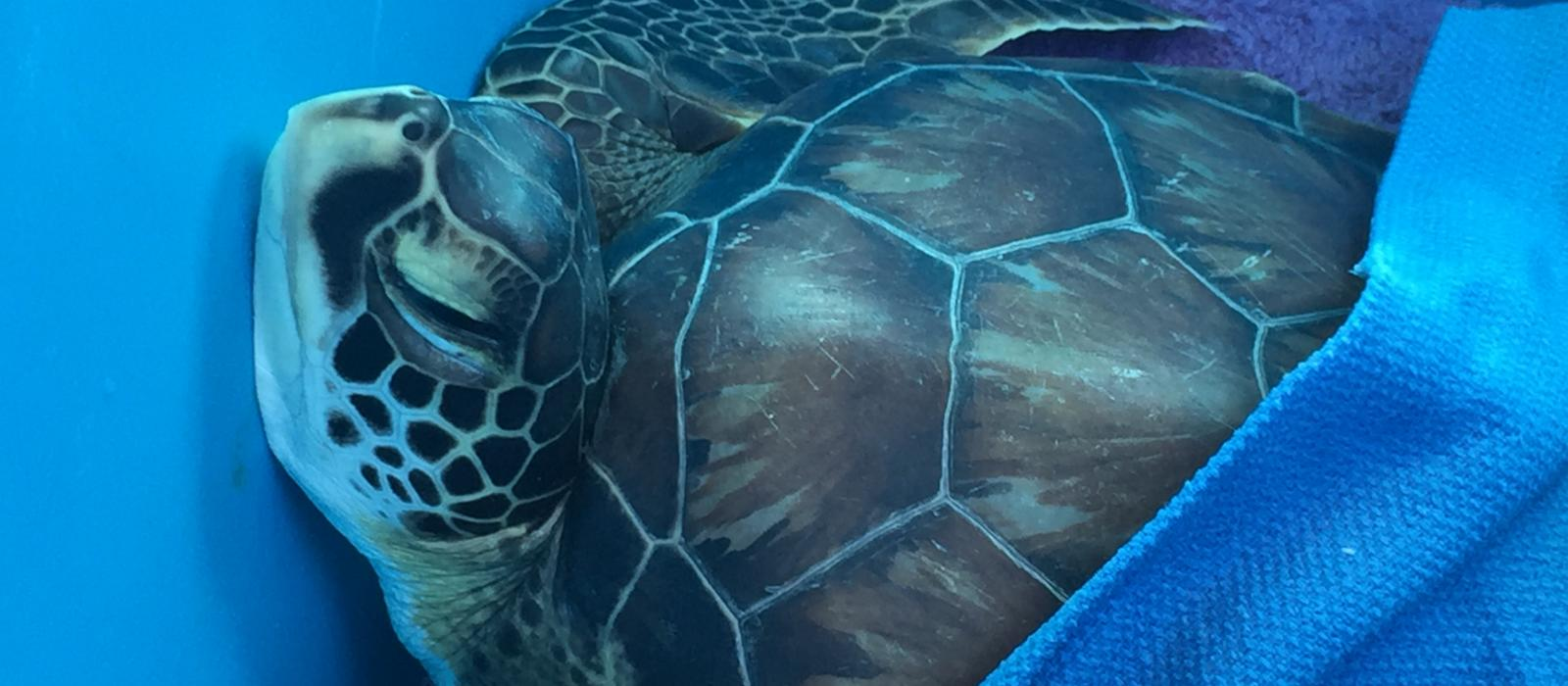 Rescued sea turtle being transported back home on the Cape May-Lewes Ferry.