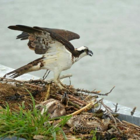 Ferry Osprey